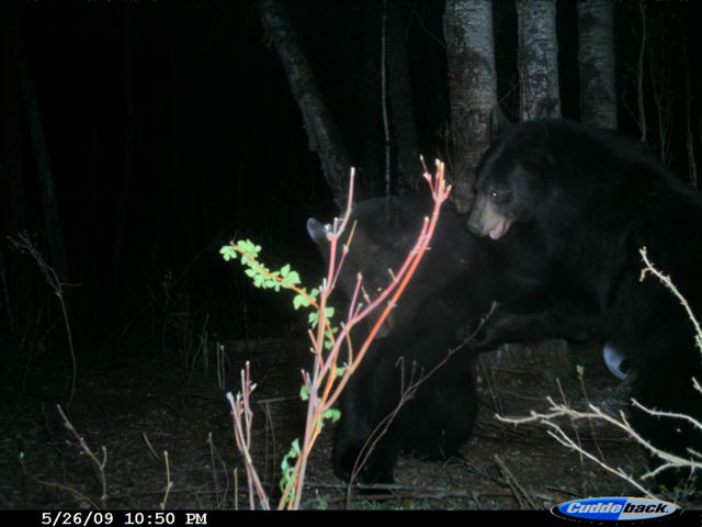 Bear fight at night
