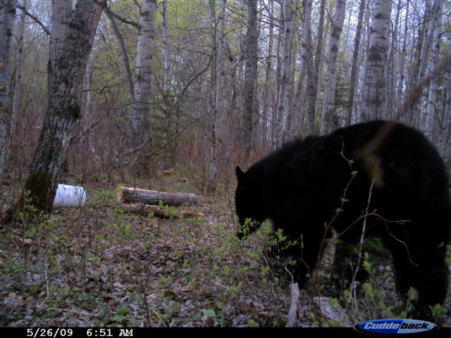Bear going to bait