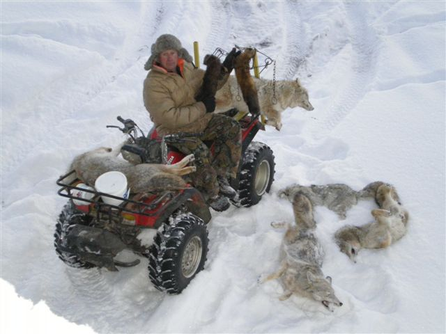 coyotes trapping