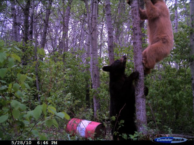 two bears a bait